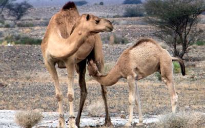 Vor-und Nachteile von Kamelmilch